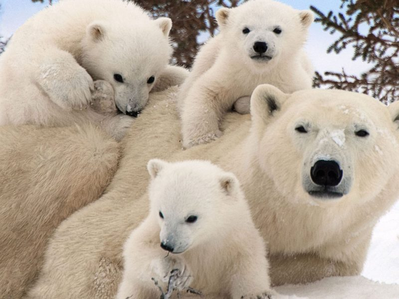 Drinking-for-Conservation-Tacoma-Polar-Bears