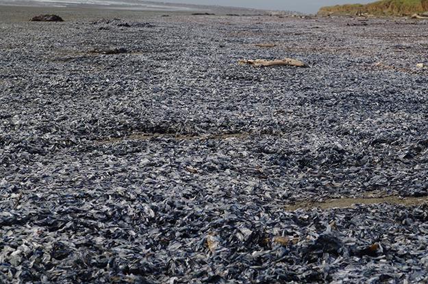 Velella velella wash up on shore